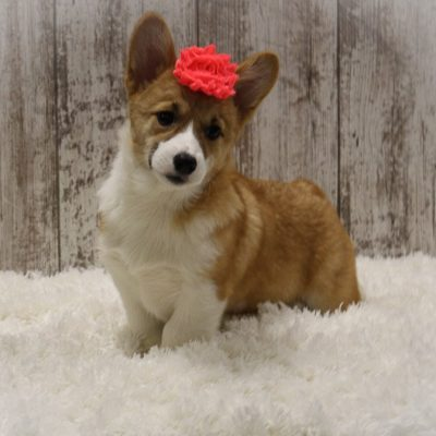 Brinley - A Female AKC Corgi Puppy for Sale in Woodburn, Indiana