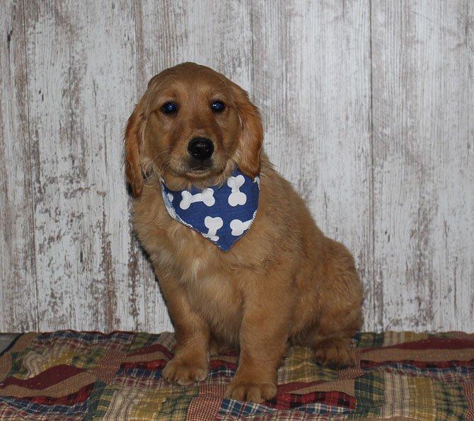 Shane - a new male APRI Golden Irish puppy for sale born in Indiana