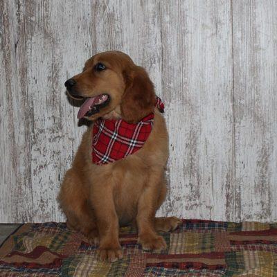 Heidi - a new Golden Irish female APRI puppy for sale in Shipshewana, IN