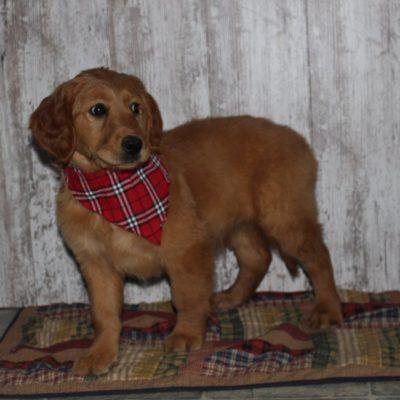 Elise - a female APRI Golden Irish puppy for sale in Shipshewana, IN