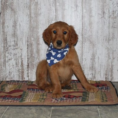 Coty - a male APRI Golden Irish puppy in Shipshewana, Indiana