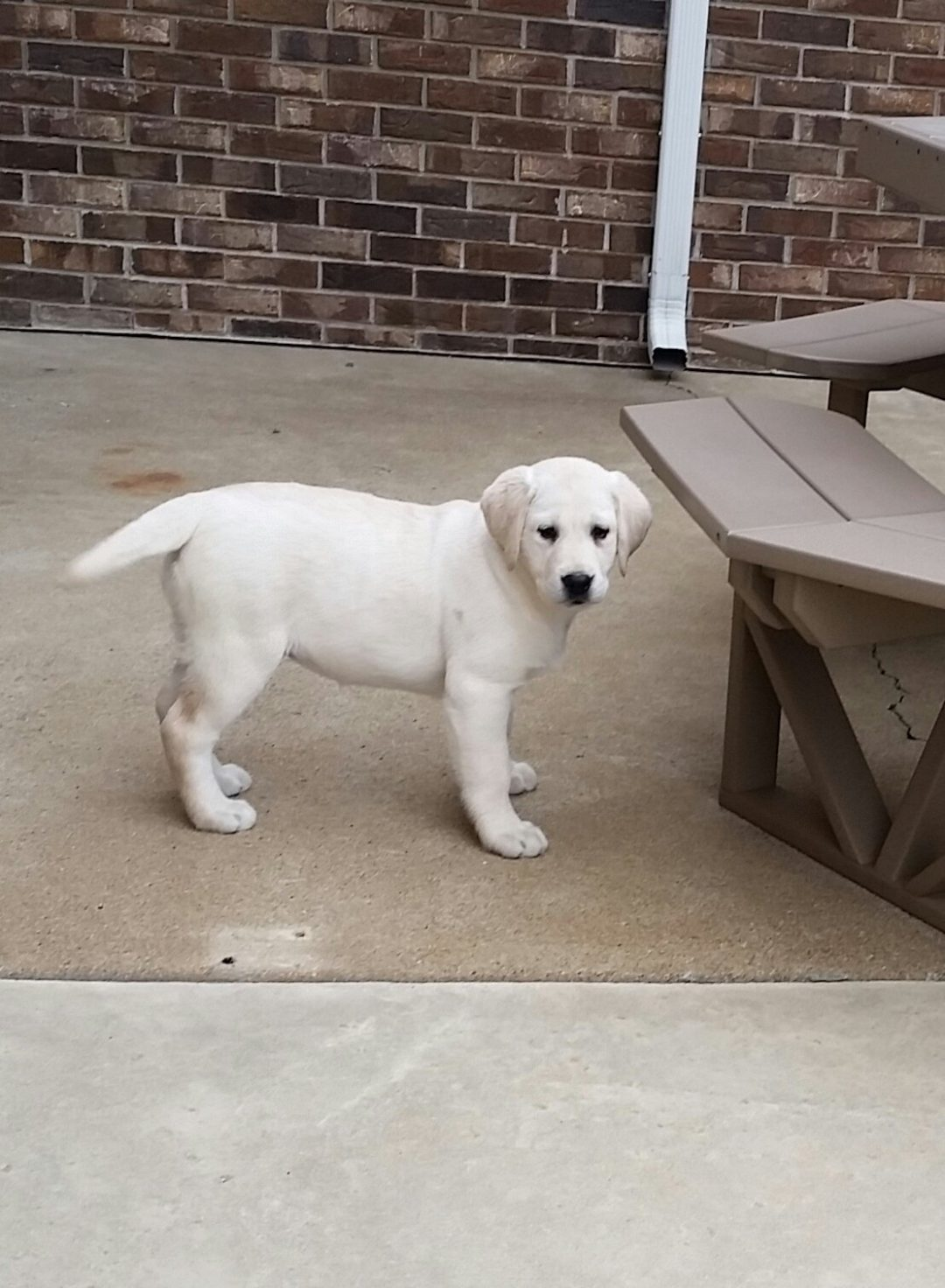 Tracey - a Yellow Labrador Retriever puppy for sale in Woodburn, Indiana