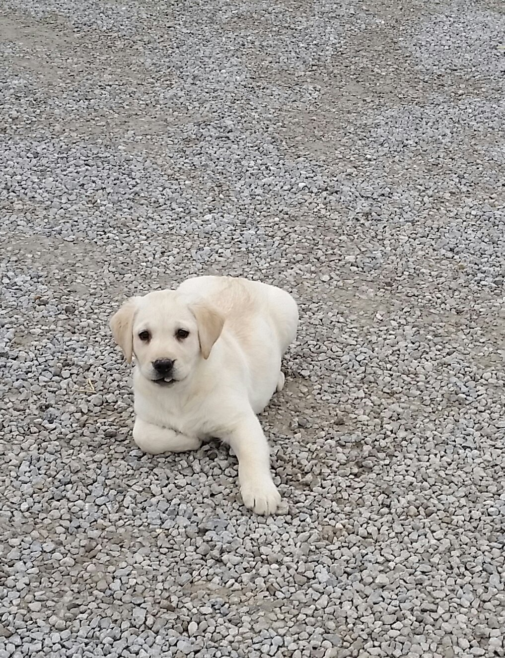 Trase - a Yellow Labrador Retriever puppy for sale in Indiana