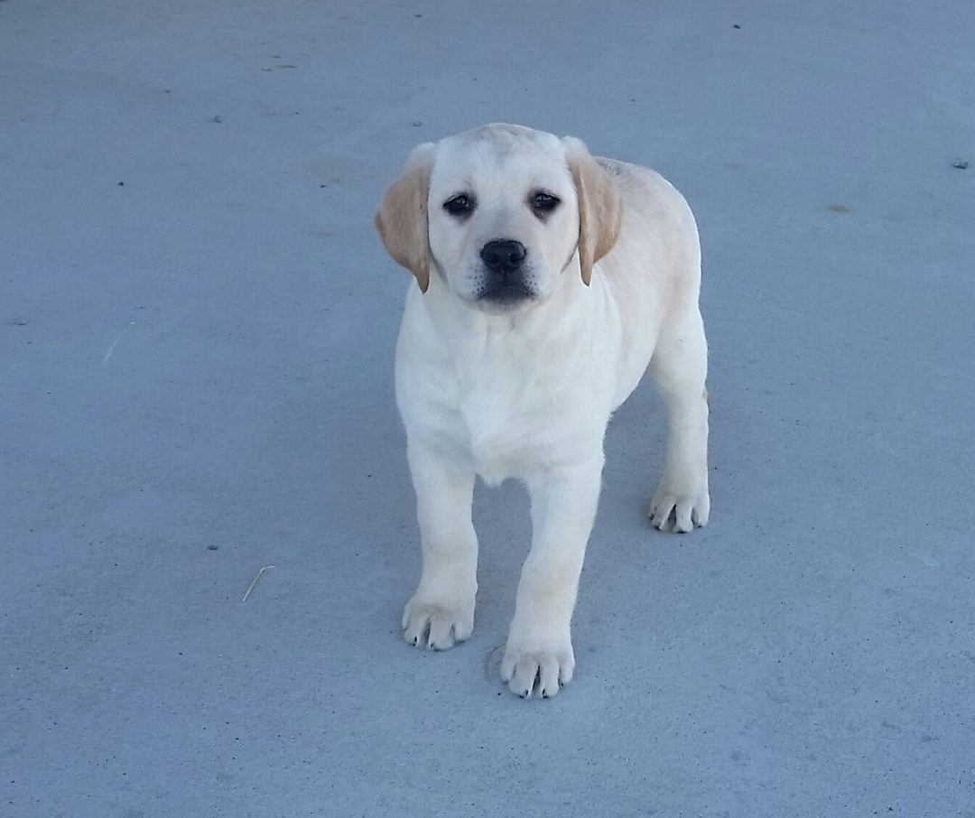 Taiya - a female AKC Labrador puppy for sale in Woodburn, Indiana