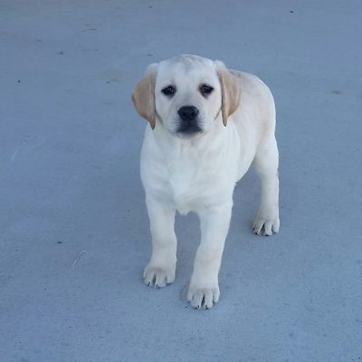 Taiya - a female AKC Labrador puppy for sale in Woodburn, Indiana