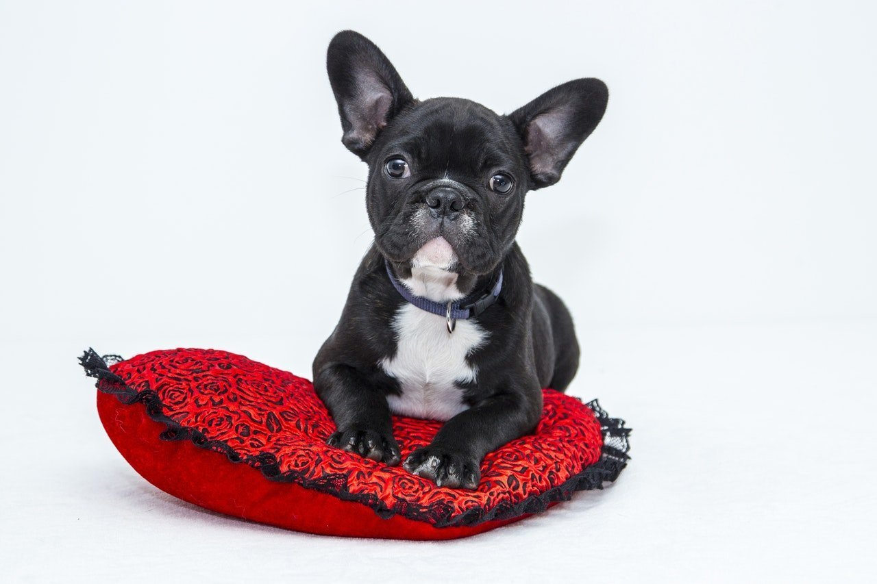 Cute Black puppy laying on a red pillow with solid white background.