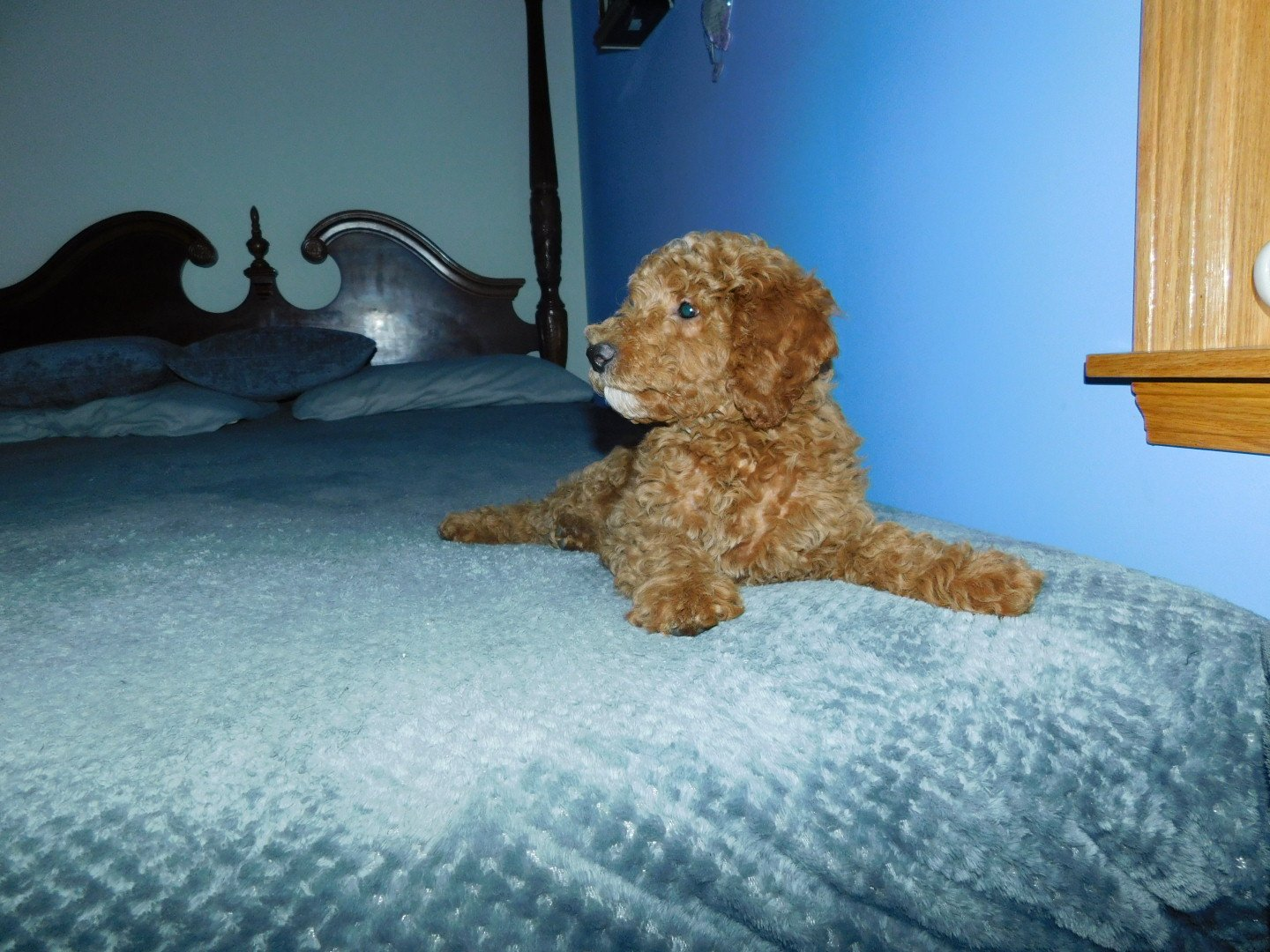 Jayden - Miniature Goldendoodle puppy for sale in Reading, Michigan