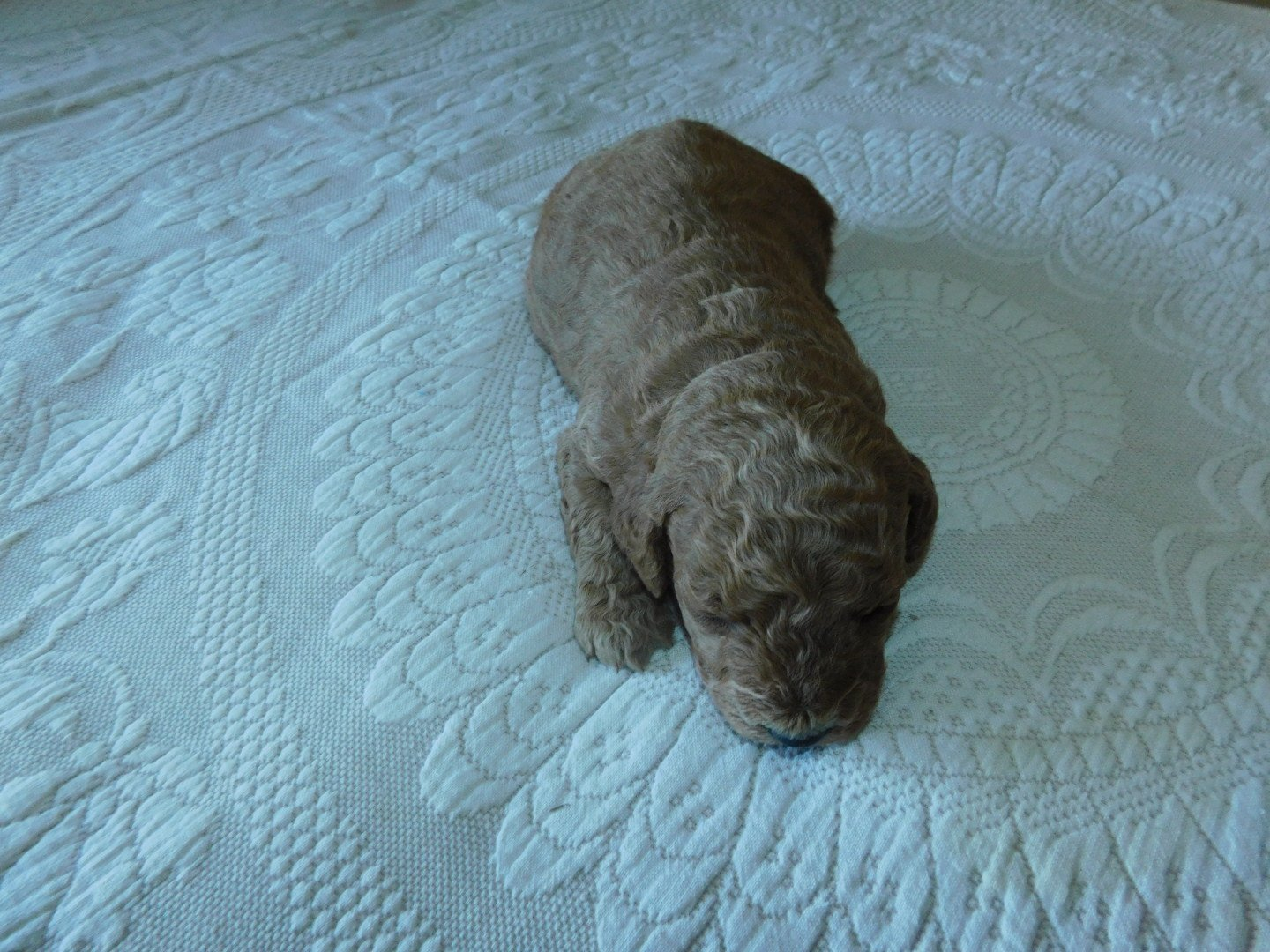Ash - Miniature Goldendoodle puppy for sale in Michigan
