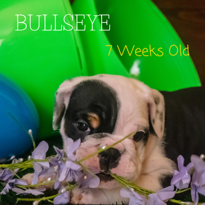 Bullseye – AKC English Bulldog puppy for sale in Montana