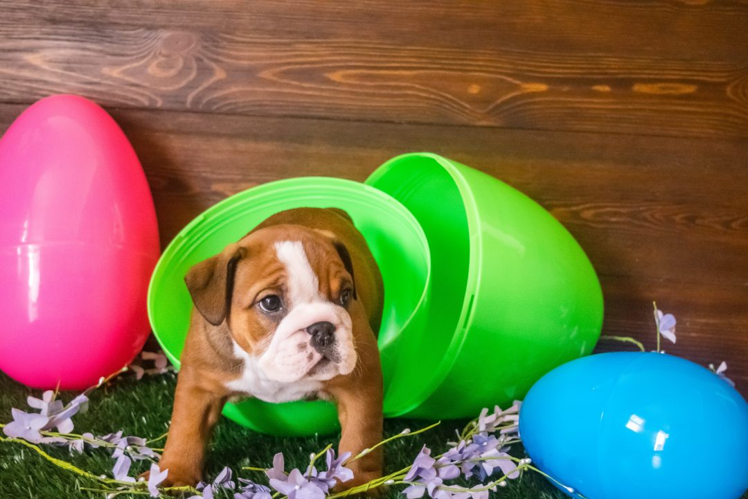 Angel – AKC English Bulldog puppy for sale in Great Falls, Montana