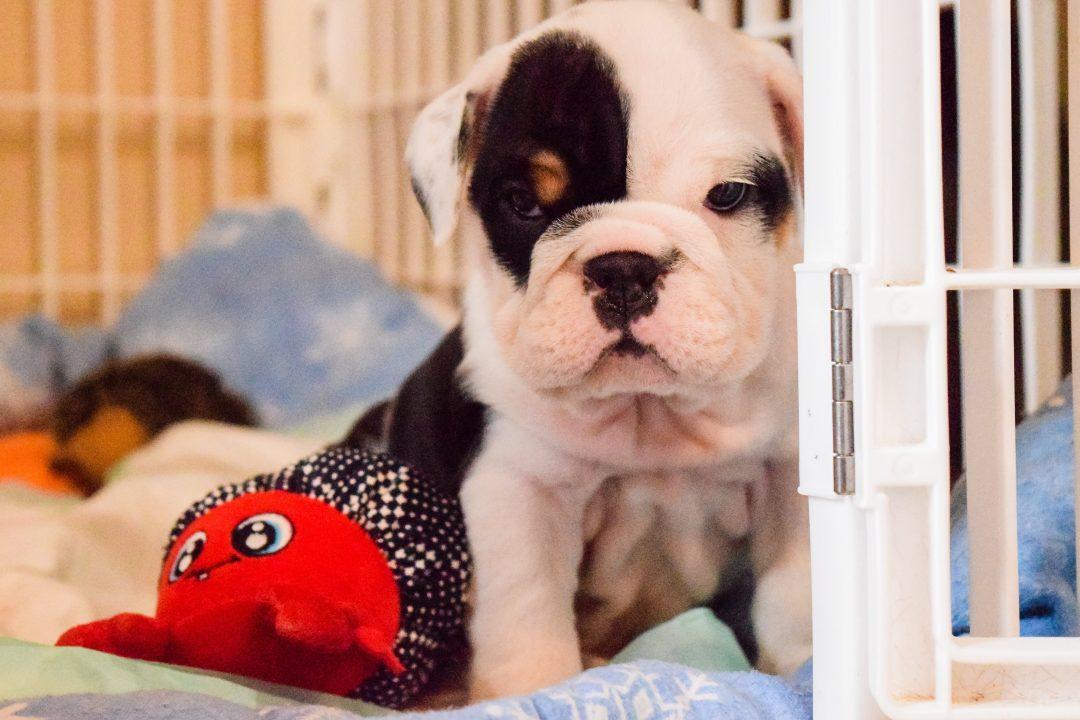 Bullseye – AKC English Bulldog puppy for sale in Montana