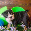 Haven – AKC English Bulldog puppy for sale in Great Falls, Montana
