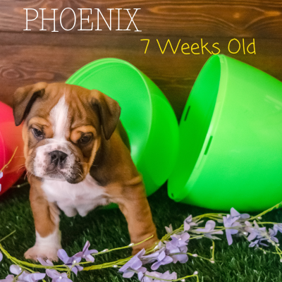 Phoenix - AKC English Bulldog puppy in Great Falls, MT
