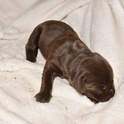 AKC Female Chocolate Lab Puppy for sale in North Carolina