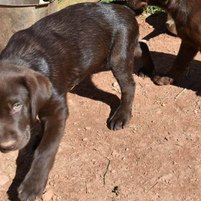 AKC Chocolate Lab puppy for sale in North Carolina