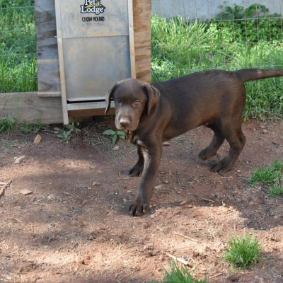 AKC Chocolate Lab Puppy in North Carolina *** read description