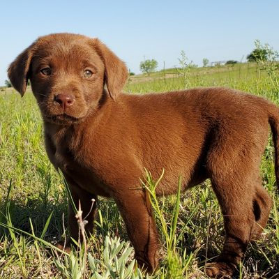 Coco: Male AKC Labrador Retriever puppy for sale in Godley, Texas