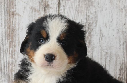 Clifford - male AKC Bernese Mountain Dog for sale in Harlan, IN