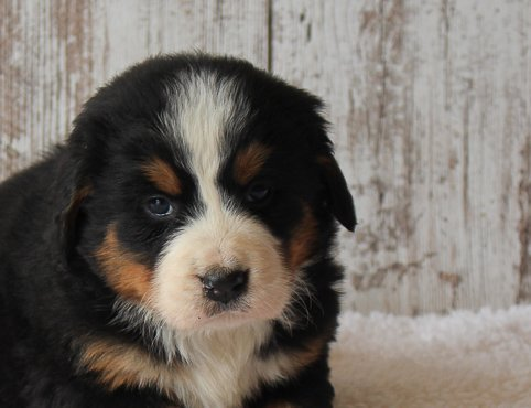April - female AKC Bernese Mountain Dog for sale in Harlan, Indiana