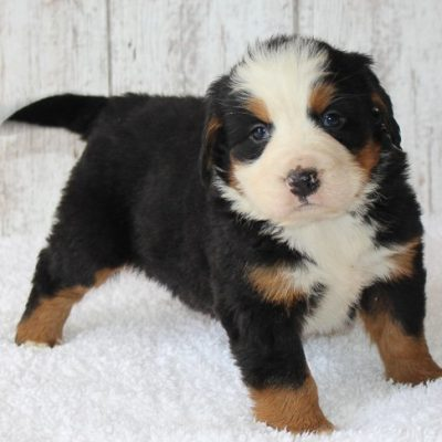 Tiffany - female AKC Bernese puppy for sale in Harlan, Indiana