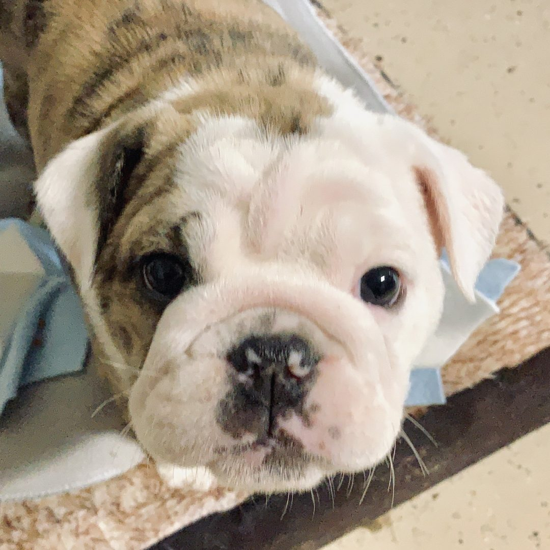 Continent - Old English Bulldog puppy for sale in Huntersville, North Carolina