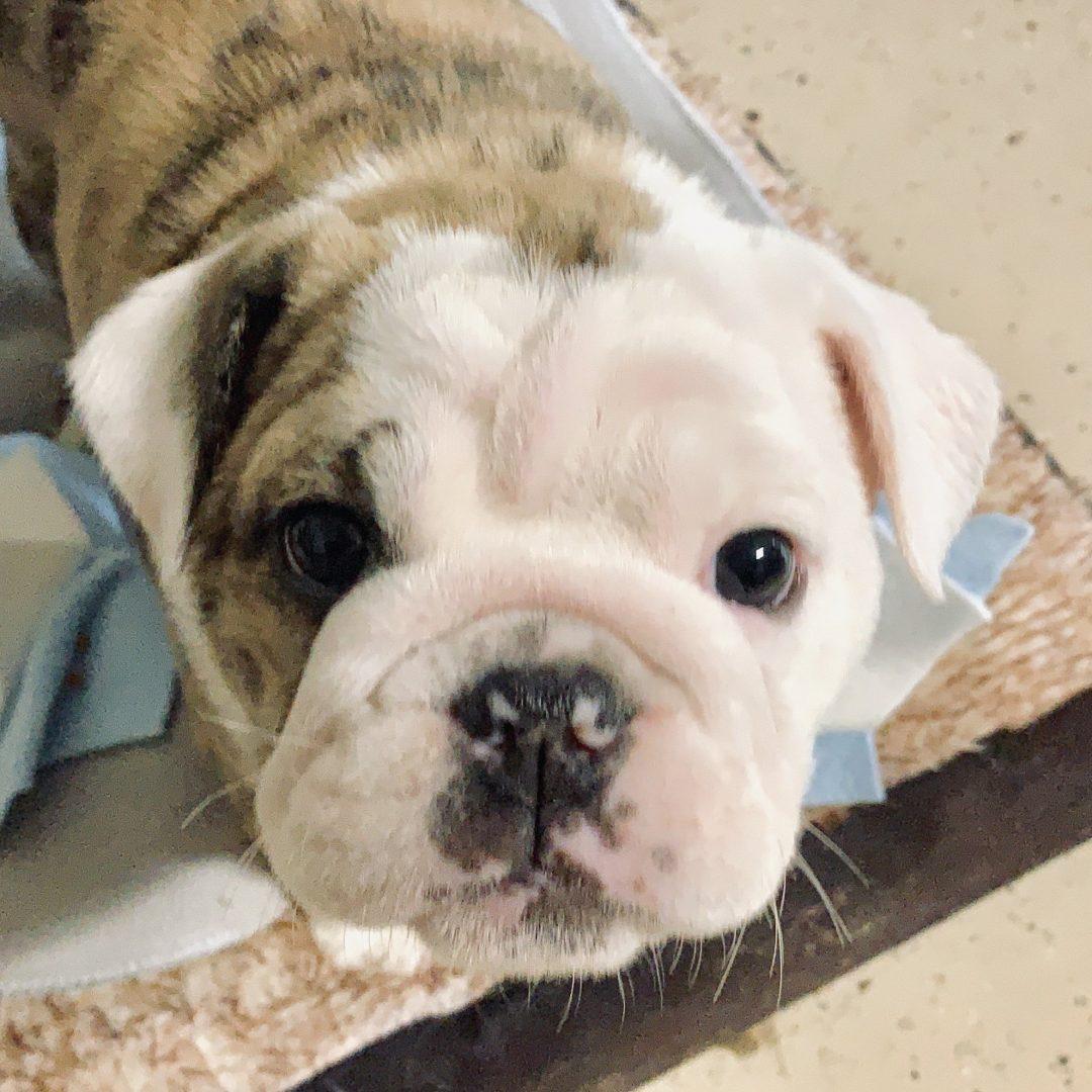 Continent - Old English Bulldog puppy for sale in Huntersville, North Carolina