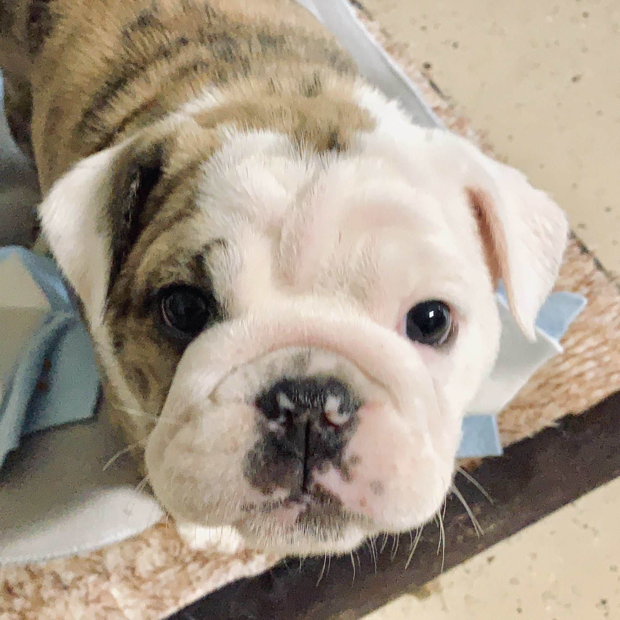 Continent Old English Bulldog Puppy
