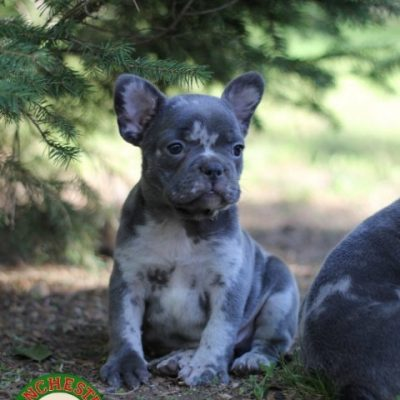 Sebastian: Male AKC French Bulldog puppy for sale in Joplin, MO