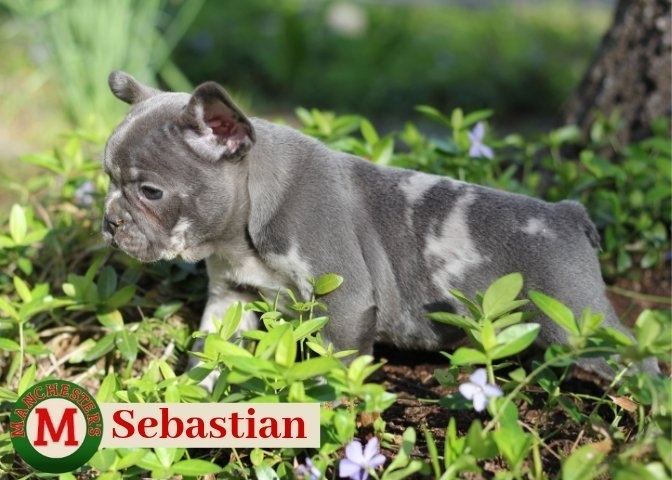 Sebastian: Male AKC French Bulldog puppy for sale in Joplin, MO