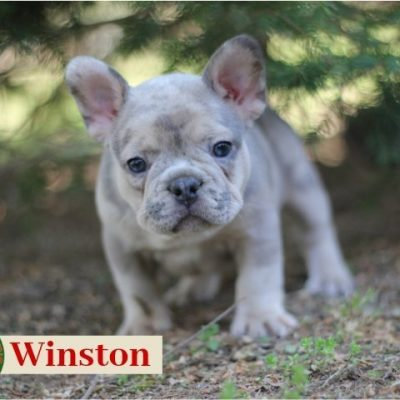 Winston: Male French Bulldog puppy for sale in Joplin, MO