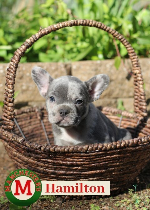 Hamilton: Male AKC French Bulldog puppy in Joplin, Missouri