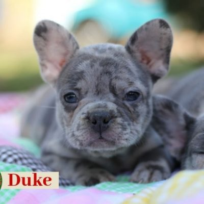 Duke: Male AKC French Bulldog puppy for sale in Missouri