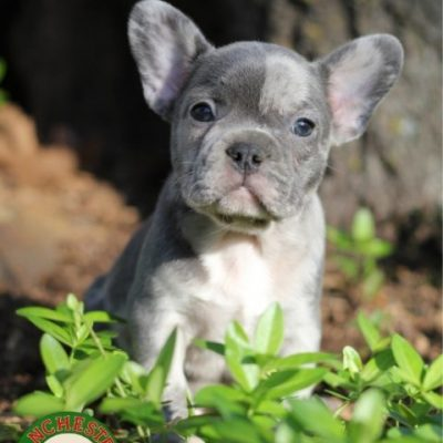 Hamilton: Male AKC French Bulldog puppy in Joplin, Missouri