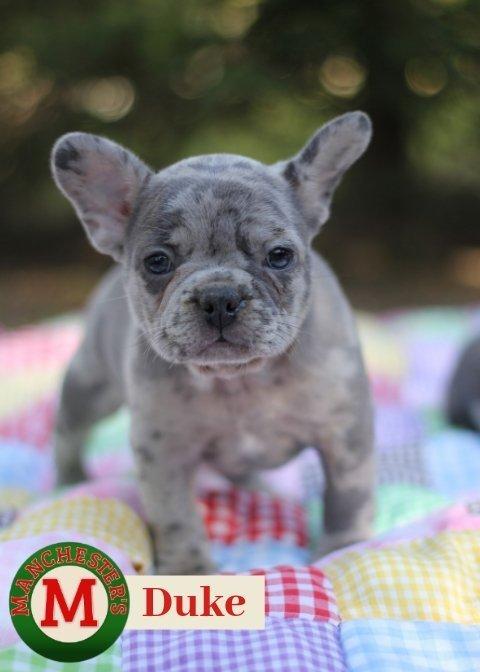 Duke: Male AKC French Bulldog puppy for sale in Missouri