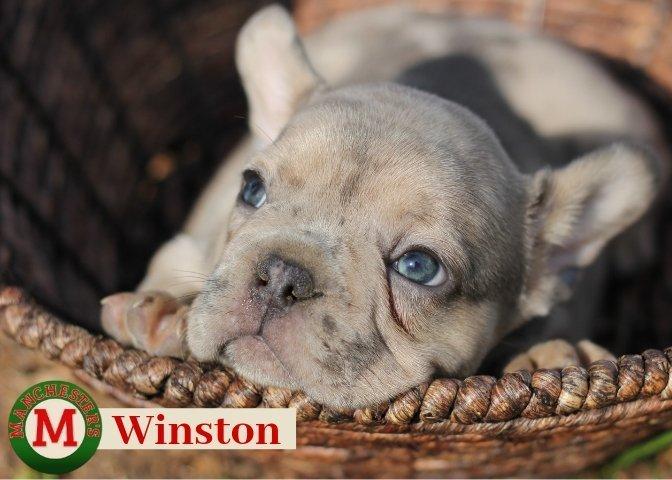 Winston: Male French Bulldog puppy for sale in Joplin, MO