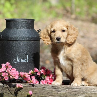 Jewel - female Cockapoo puppy for sale in Virginia Beach, VA