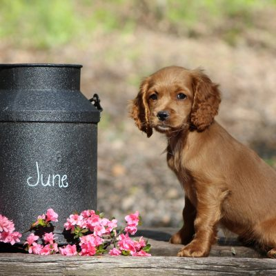 June - Cockapoo puppy for sale in Virginia Beach, Virginia