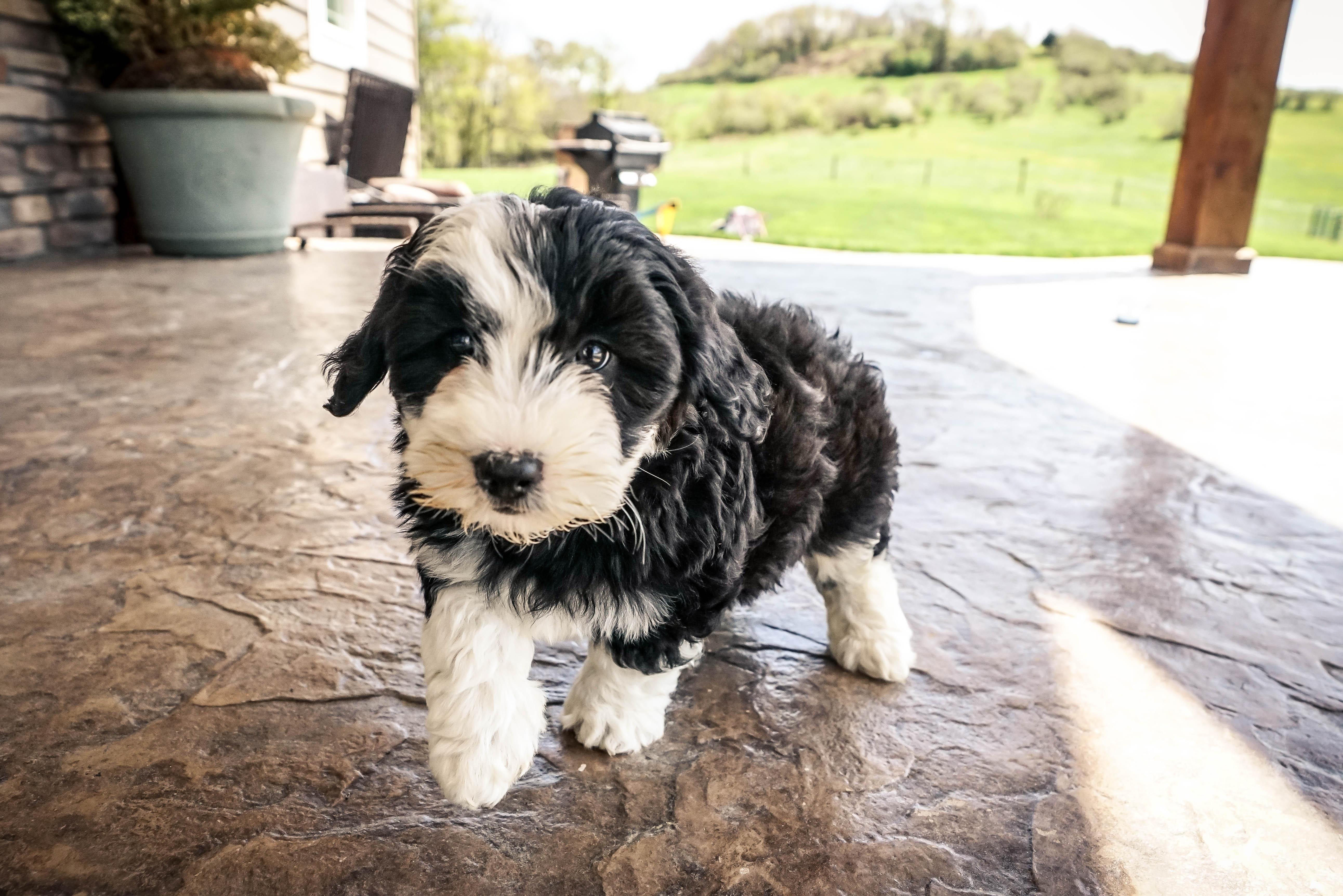 Small hypoallergenic dogs for sale in ohio