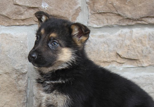Cindy - AKC German Shepherd puppy in New Haven, Indiana