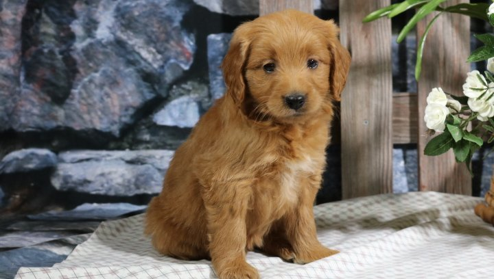 Dixie Female Mini Goldendoodle Puppy For Sale In Nappanee In Vip