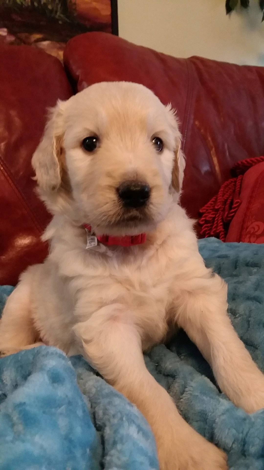 Oskar - CKC Goldendoodle puppy in Pelzer, South Carolina