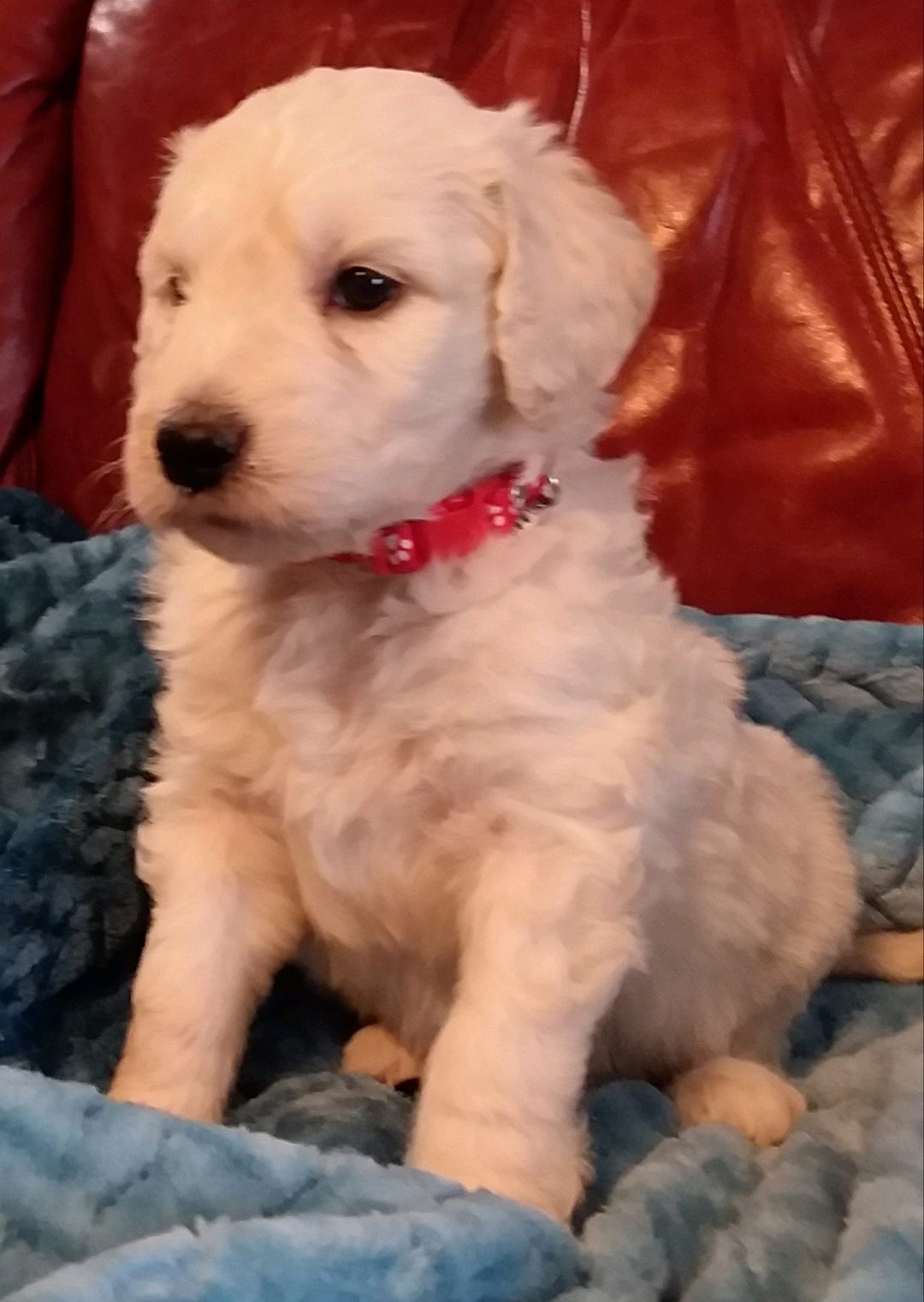 (SOLD) Gunner - CKC Goldendoodle puppy for sale in South Carolina