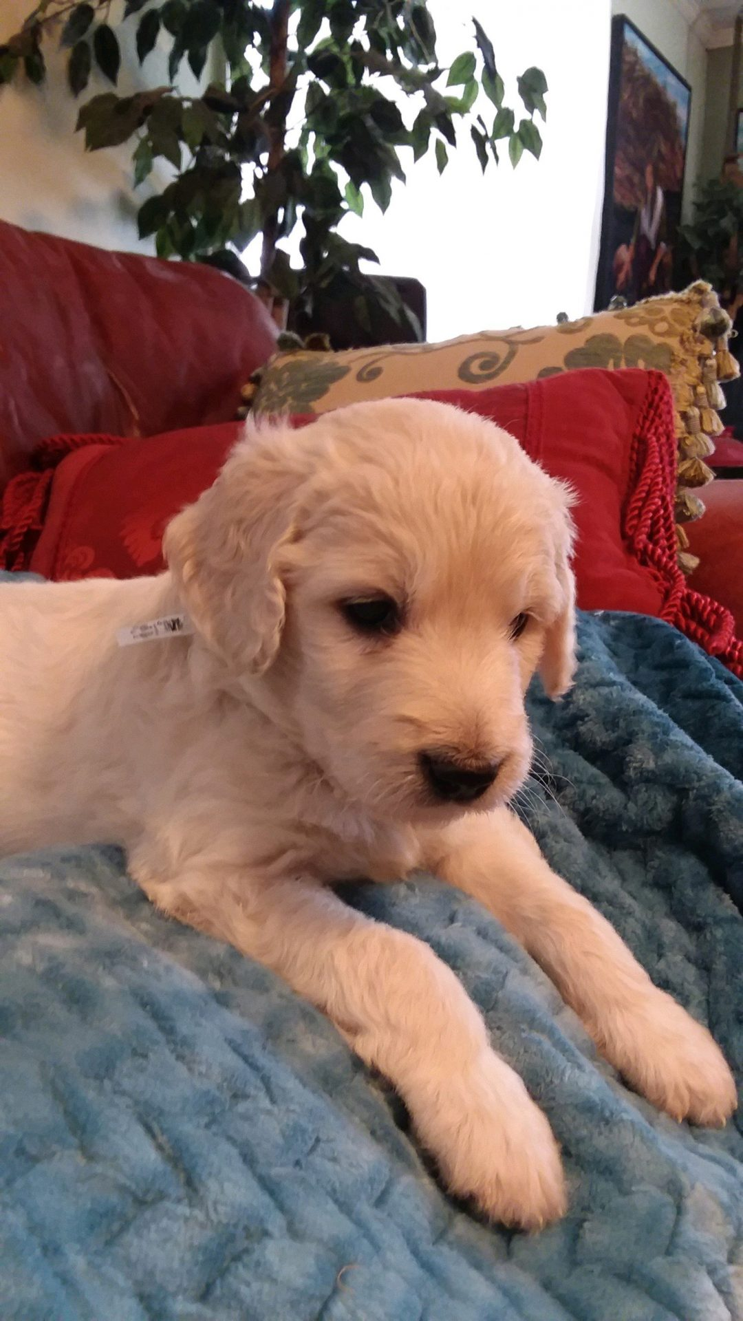 Magnum - CKC Goldendoodle puppy for sale in Pelzer, SC