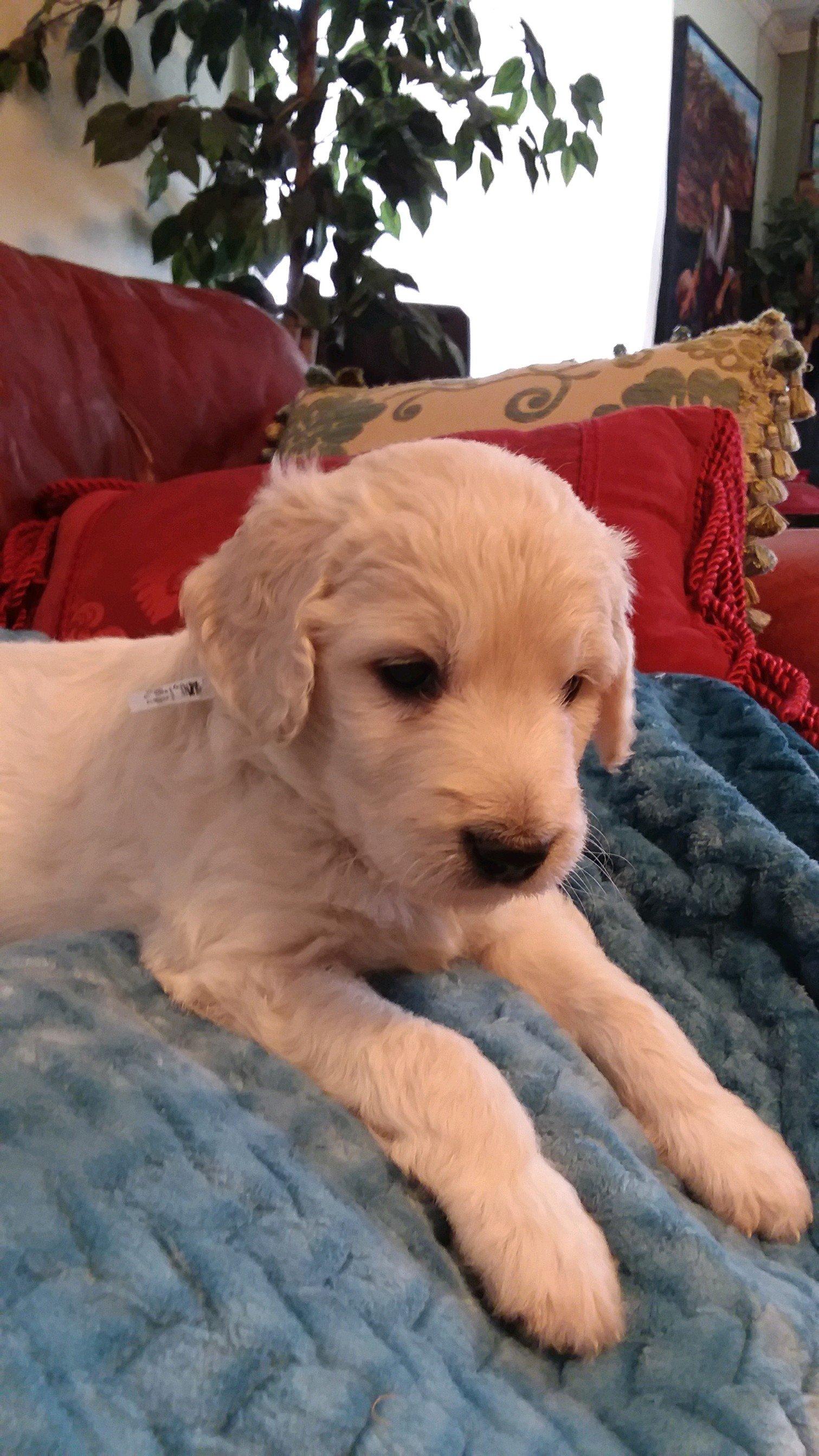 Magnum - CKC Goldendoodle puppy for sale in Pelzer, SC | VIP Puppies