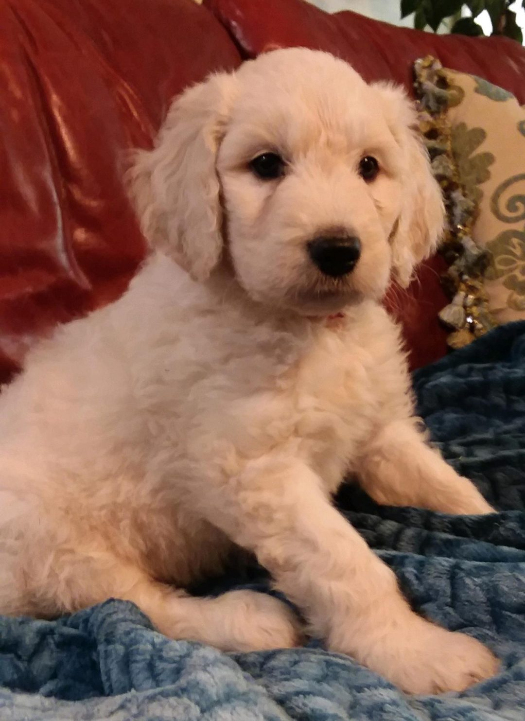 Sveinn - male CKC Goldendoodle puppy for sale in Pelzer, South Carolina