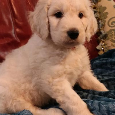 (SOLD) Sveinn - male CKC Goldendoodle puppy for sale in Pelzer, South Carolina