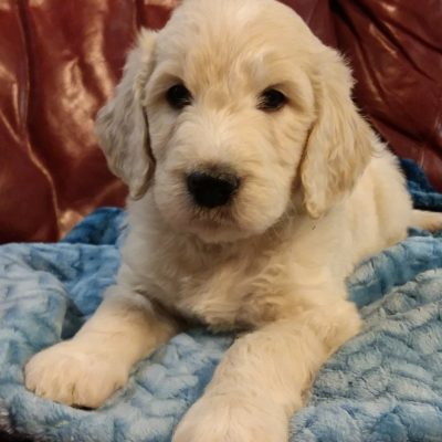 Gunner - CKC Goldendoodle puppy for sale in South Carolina