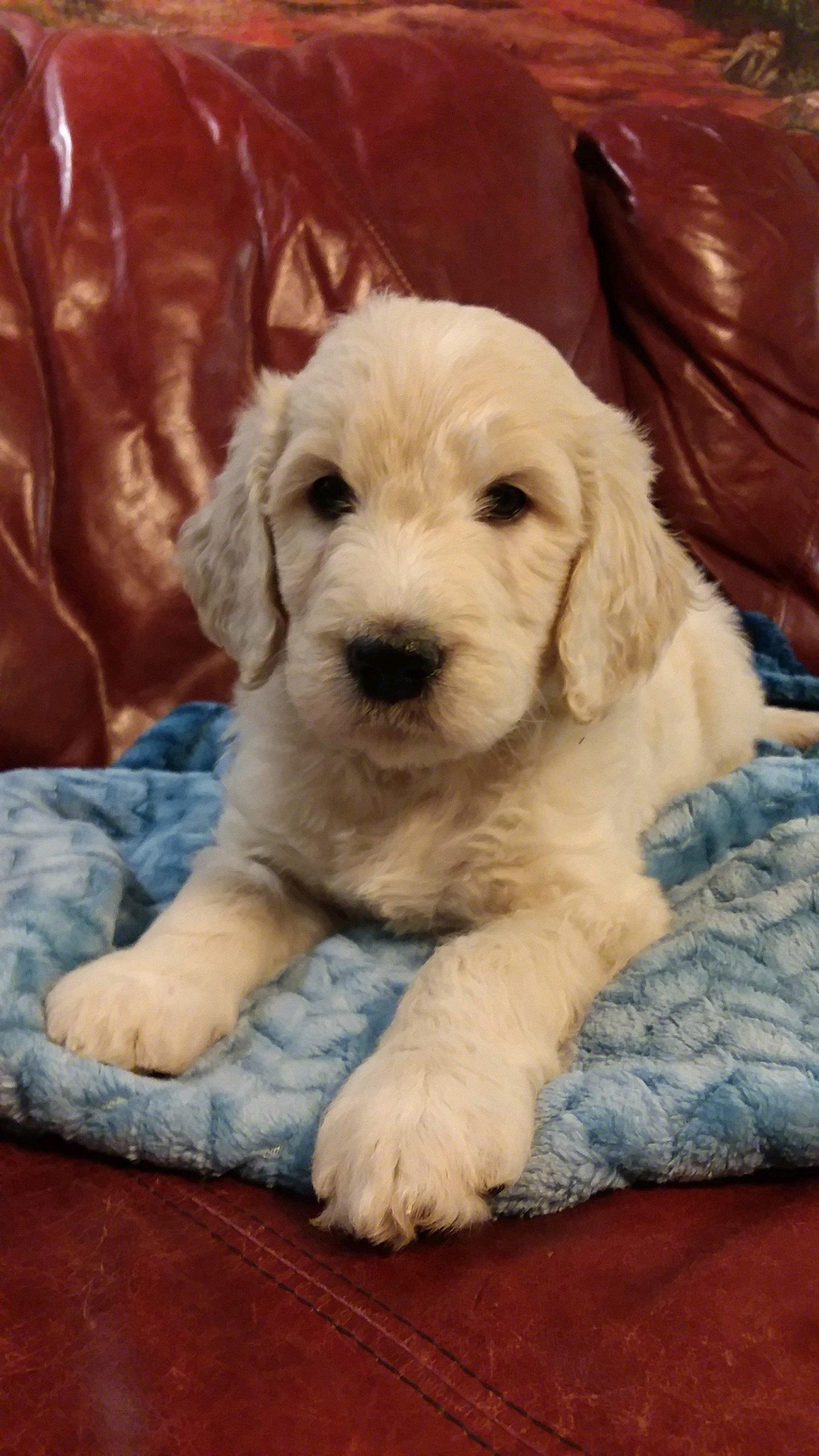 (SOLD) Gunner - CKC Goldendoodle puppy for sale in South Carolina