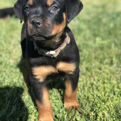 Alex: AKC Rottweiler puppy for sale in Lexington Park, Maryland