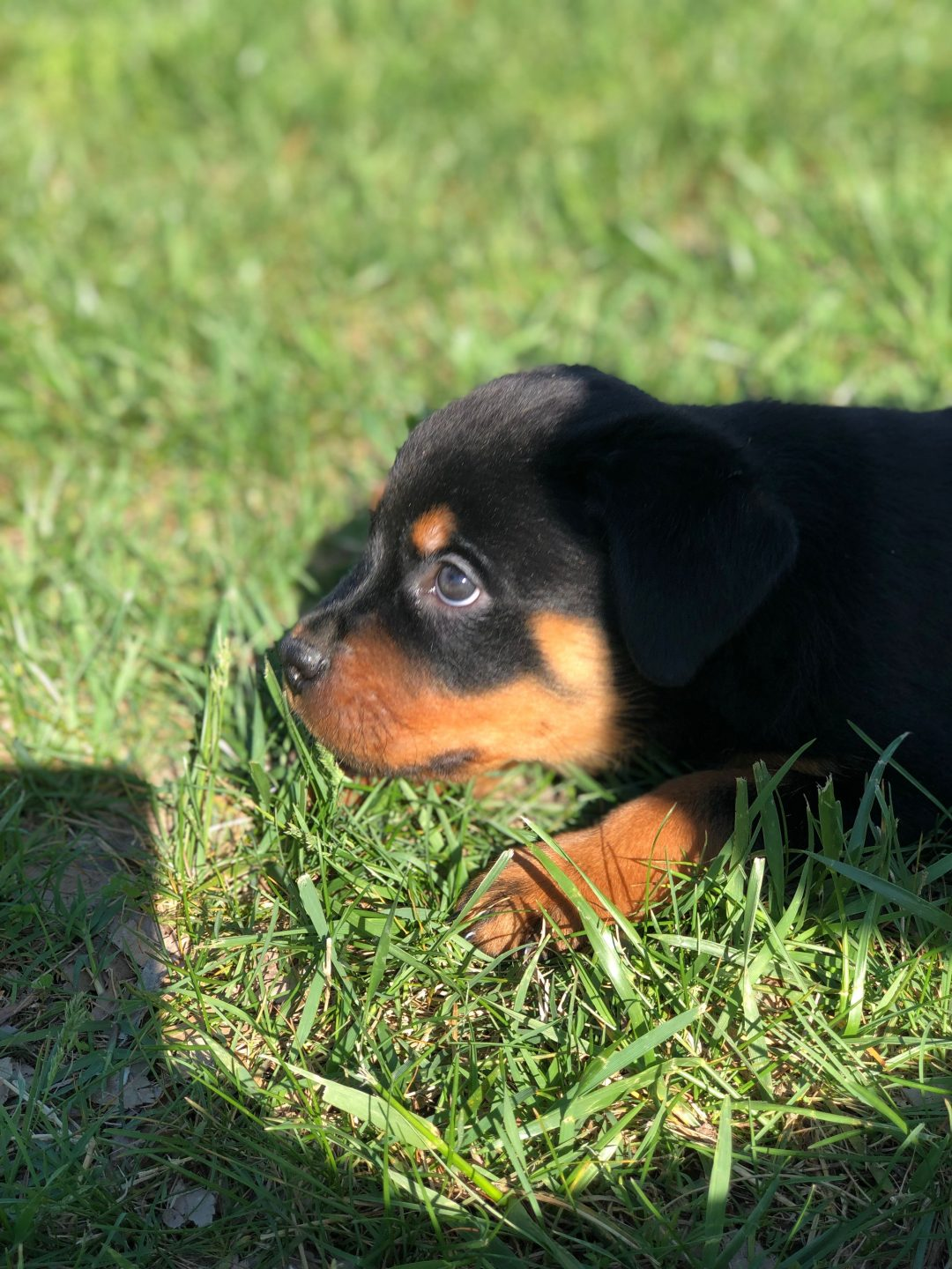 Ali - male AKC Rottweiler puppy in Lexington Park, Maryland